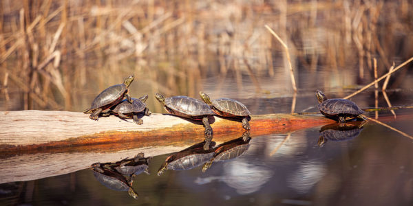 Turtles at Wilden - Kelowna Real Estate