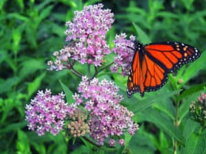 Monarch Butterfly on Milkweed image
