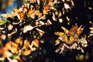 Monarch Butterflies image