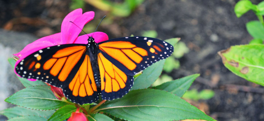 The Monarch Butterfly – Learn More About This Fascinating Insect
