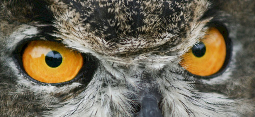 The Great Horned Owl – The Silent Hunter