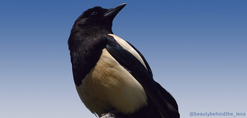 The Magpie – Master of Intelligence