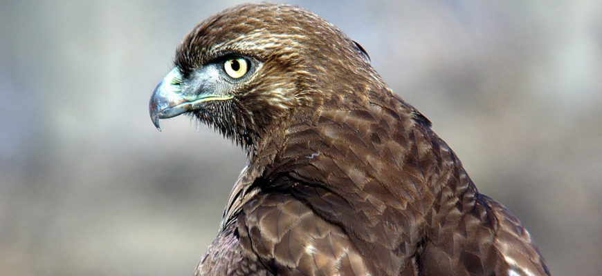 Circus in the Sky – Wilden is a Great Place to Watch the Red-tailed Hawk