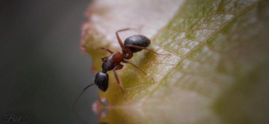 The Ant: Weak Alone But Strong Together