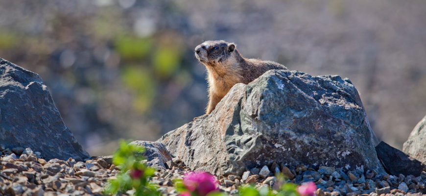 Marmots in Wilden Like the Rocky Spots