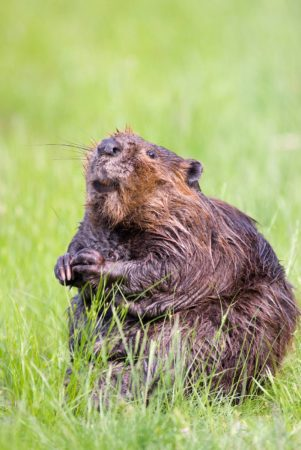 Beaver-in-the-grass