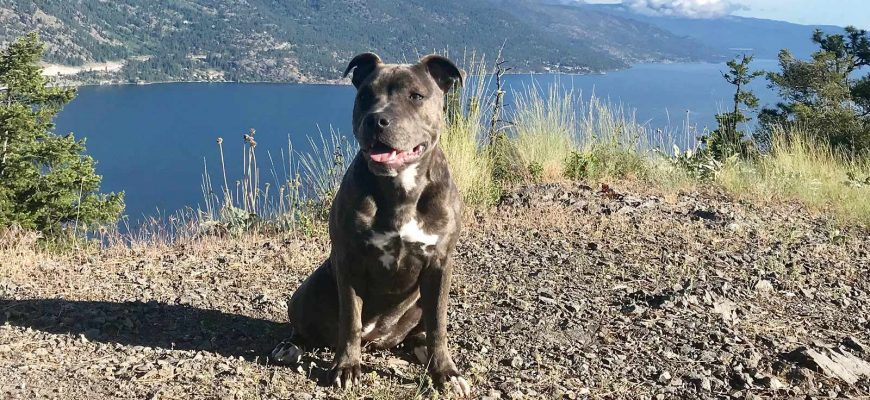 #MeetWilden  – Staffordshire Terrier Lexi