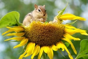 Chipmunk on sunflower - image