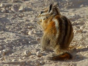 Chipmunk eating on ground - image