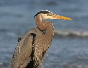 great blue heron close up image