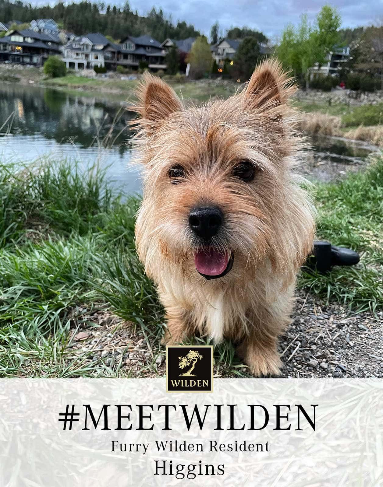 Norwich Terrier Higgins at Hidden Lake Park in Wilden image